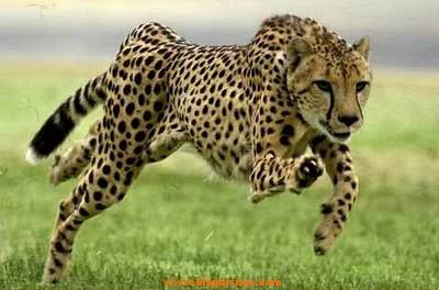 guepardo, el animal terrestre mas rapido del mundo
