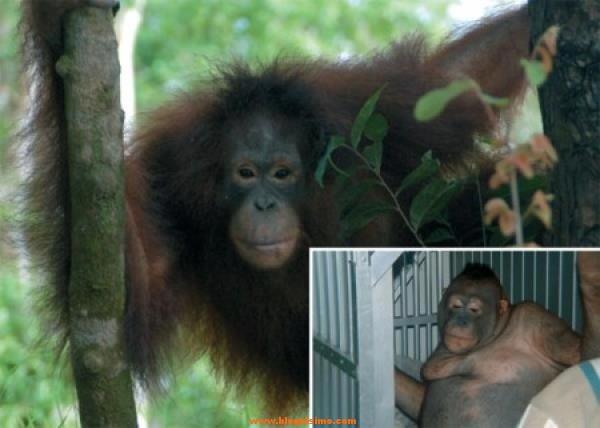 orangutan prostituido
