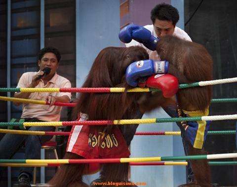 orangutan_boxeo