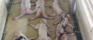 Jóvenes matan a mas de 70 lechones saltando sobre ellos