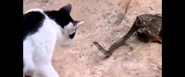 Gato acechando serpiente comida viva por un sapo