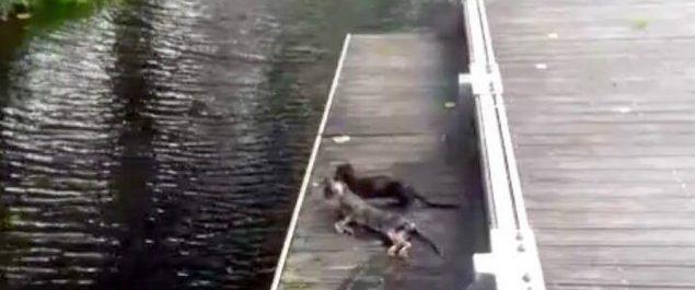 un-vison-americano-devora-un-gato-en-un-parque-de-monforte